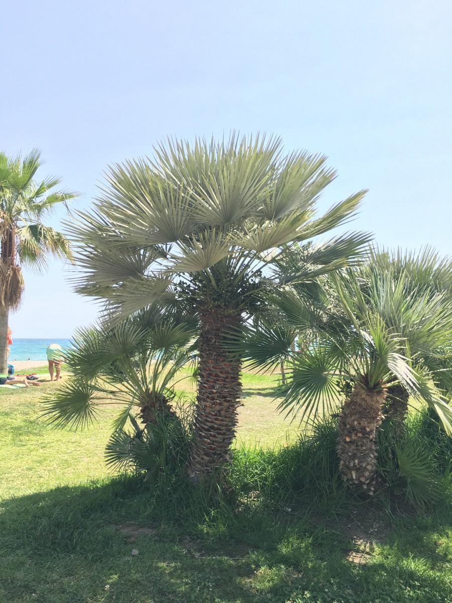 cultiver des palmiers et des esp ces exotiques dans des r gions temp r es la palmeraie fr. Black Bedroom Furniture Sets. Home Design Ideas