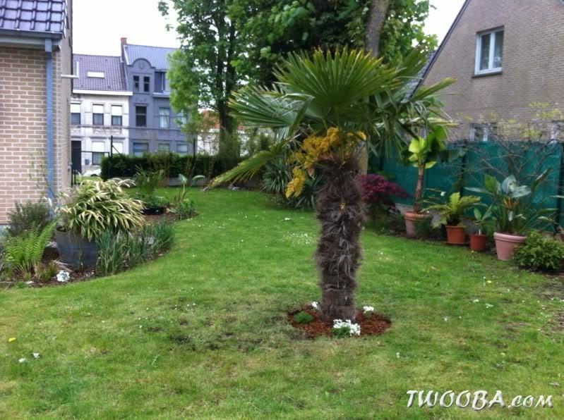 l 39 achat et plantation du palmier trachycarpus fortunei