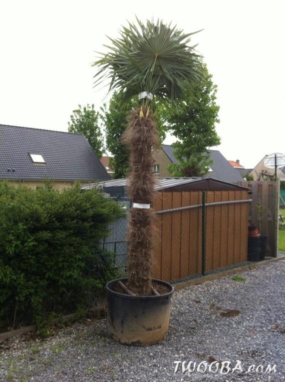 lachat et plantation du palmier trachycarpus fortunei