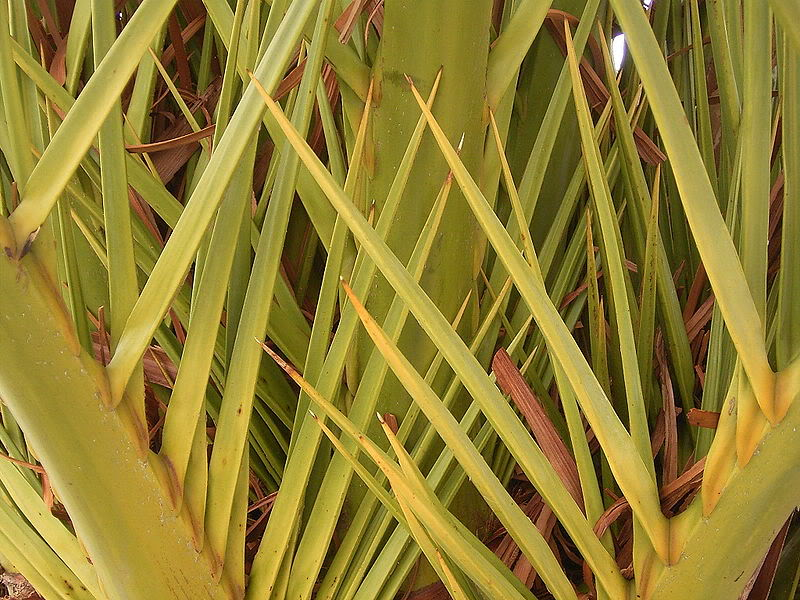 Phoenixcanariensis0