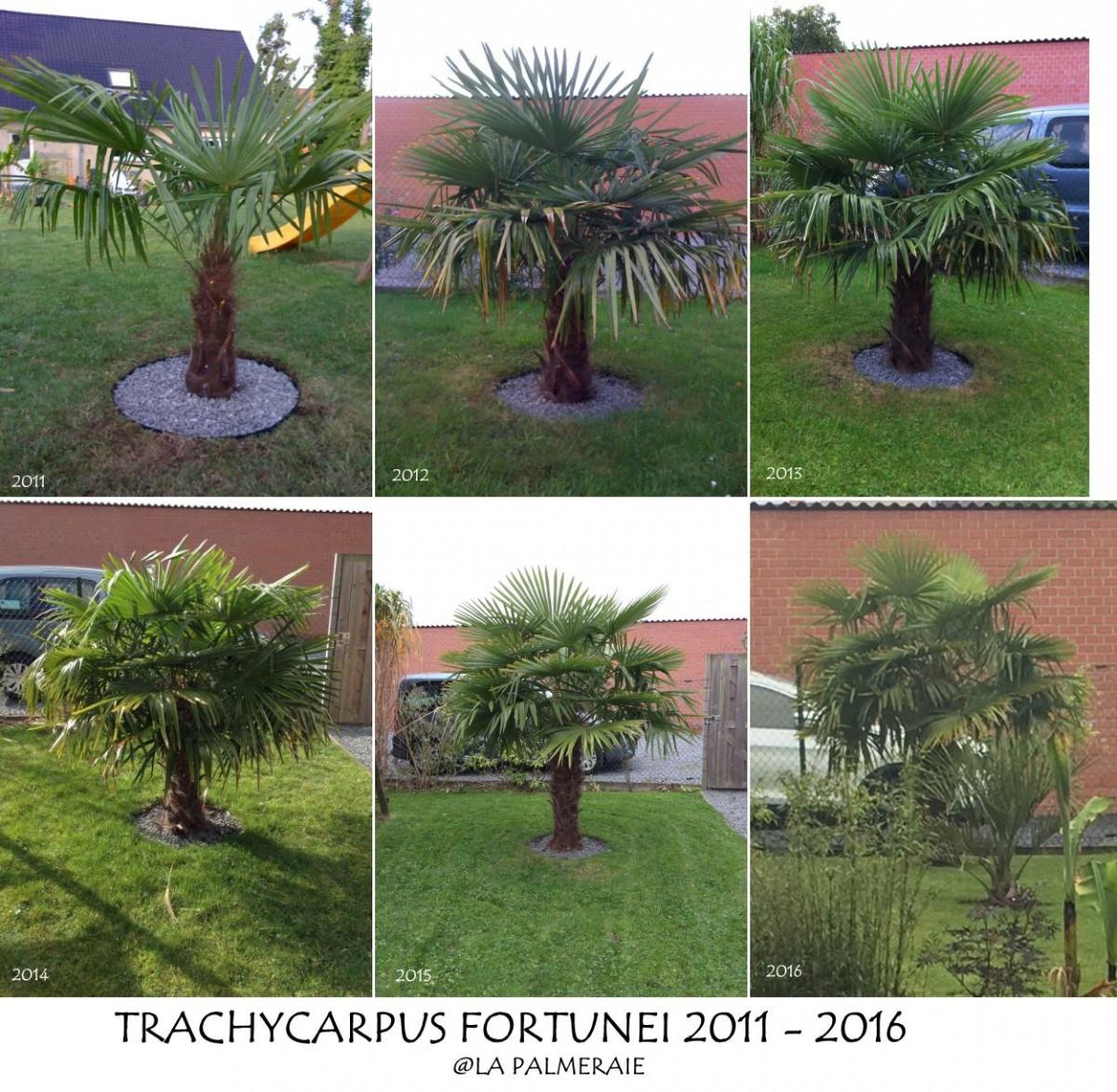 Trachycarpus_fortunei_FCP_20112016.jpg