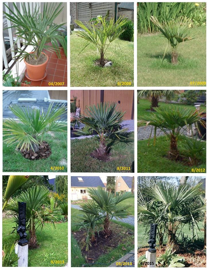 "Jardin ""La Palmeraie"" à Renaix (B) - Page 5 Trachycarpus_fortunei_groei_v1_564c46eef3744"