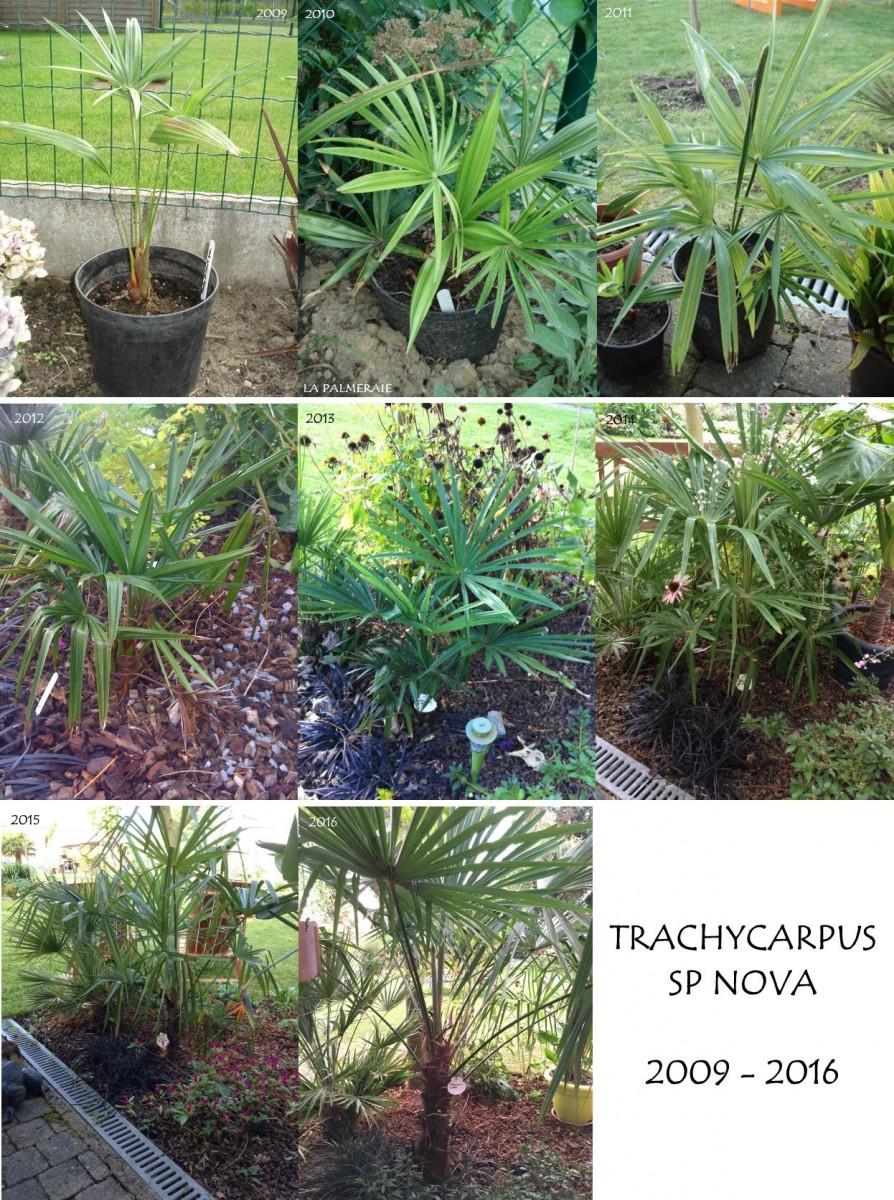 Trachycarpus_sp_Nova_groei_20092016.jpg