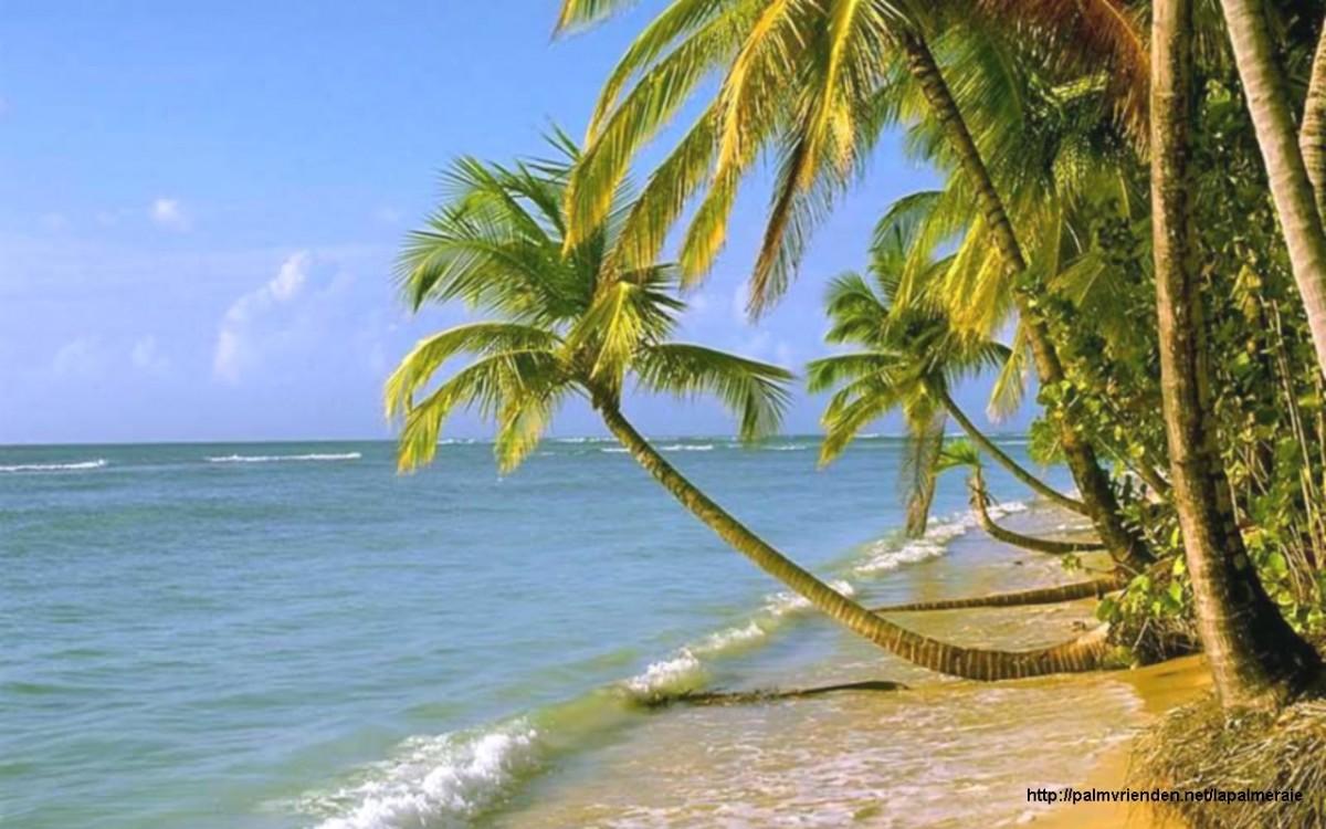 cocos nucifera cocotier palmier la palmeraie fr. Black Bedroom Furniture Sets. Home Design Ideas