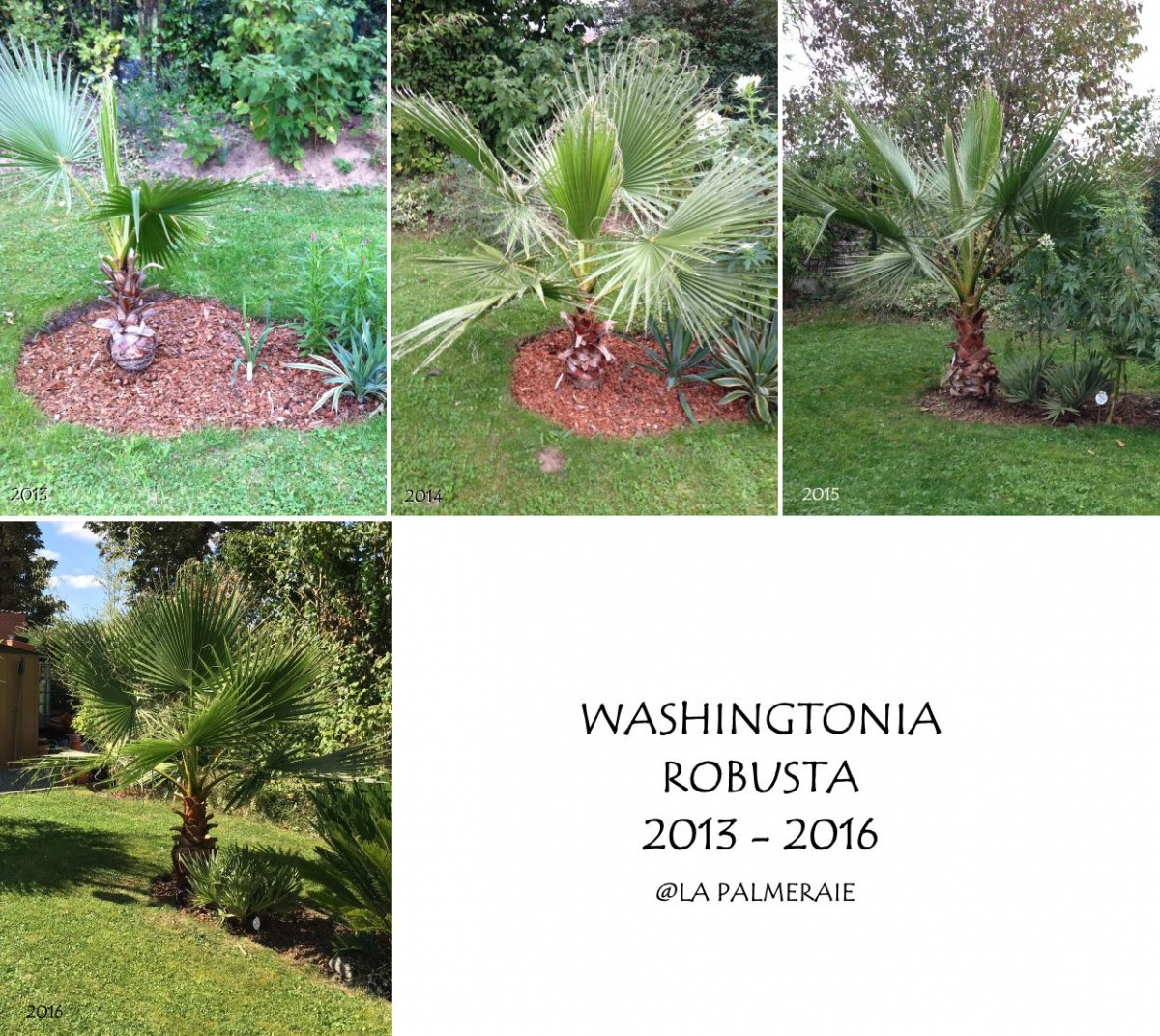 Washingtonia_robusta_20132016.jpg