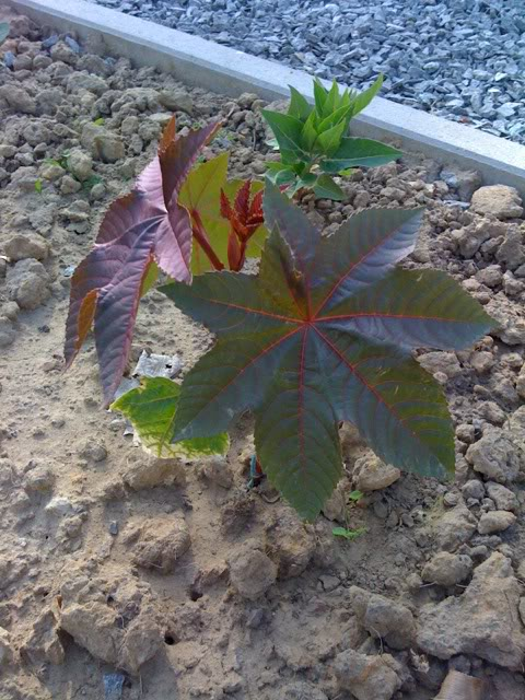 wonderboom kweken